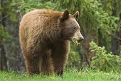 Cinnamon-coloured American black bear (Ursus americanus) grazing on roadside Stock Photos