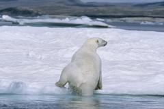 Polar Bear (Ursus maritimus), climbs up on ice floe in July, Ukkusiksalik Stock Photos