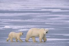 Polar bear (Ursus maritimus) and cub, near Churchill, Manitoba, Canada. Kuvituskuvat