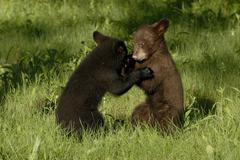 Black bear (Ursus americanus) cubs play wrestling in meadow, Minnesota, USA Stock Photos