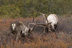 Barren-ground Caribou (Rangifer tarandus) sparring in tundra, Denali National Stock Photos