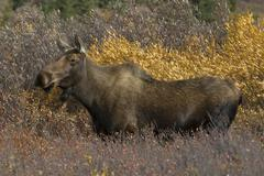 Portrait of adult cow moose (Alces alces) in dense dwarf birch and willow shrub. Stock Photos