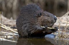 Beaver (Castor canadensis) feeding on aspen tree branch, Ontario, Canada Kuvituskuvat