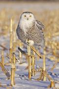 A young female snowy owl (Bubo scandiacus) hunting for rodents near Ottawa, Kuvituskuvat