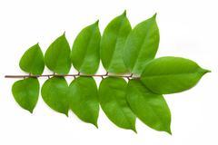 Averrhoa carambola leaves on white Stock Photos