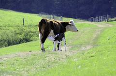 Six day old baby Hereford calf nursing its mother, in Glenora, BC. Kuvituskuvat