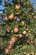 Apples in orchard at Oliver, BC, Canada in August near harvest time Stock Photos