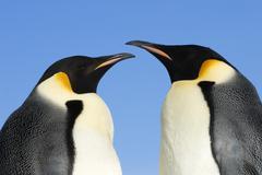 Adult emperpr penguins (Aptenodytes forsteri) courting, Snow Hill Island, Kuvituskuvat