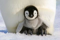 Emperor penguin (Aptenodytes forsteri) chick resting on its parent's feet, Snow Kuvituskuvat