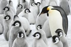 Adult emperor penguin (Aptenodytes forsteri) and chicks, Snow Hill Island, Kuvituskuvat