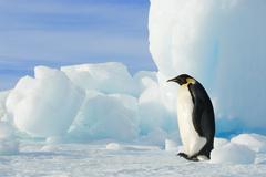 Adult emperor penguin (Aptenodytes forsteri) striding beside a grounded iceberg, Kuvituskuvat