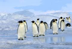Adult emperor penguin (Aptenodytes forsteri) returning to their nesting colony Kuvituskuvat