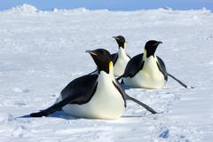 Adult emperor penguins (Aptenodytes forsteri) tobogganing on the sea ice while Kuvituskuvat