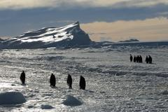 Adult emperor penguins (Aptenodytes forsteri) returning to their nesting colony Stock Photos