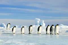 Adult emperor penguins (Aptenodytes forsteri) returning to their nesting colony Kuvituskuvat