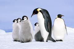 Emperor penguin (Aptenodytes forsteri) adult and chicks, Snow Hill Island, Kuvituskuvat