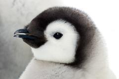 Emperor penguin chick (Aptenodytes forsteri), Snow Hill Island, Weddell Sea, Kuvituskuvat