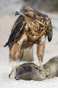 Endemic juvenile Galapagos hawk (Buteo galapagoensis) scavenging dead California Stock Photos