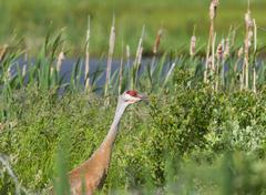 Sandhill Crane ( Grus canadensis) Adult. An elegant bird of open habitats such Stock Photos