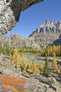 Larch in Autumn, Opabin Plateau, Yoho National Park, British Columbia, Canada Stock Photos