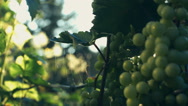 Green seedless grapes on the vine. Stock video footage Stock Footage