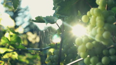 Green grapes on vine. Stock video footage Stock Footage