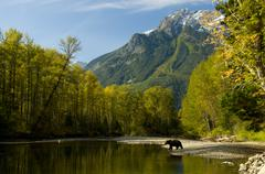 A Grizzly Bear, Ursus horribilis, walks on the shores of the Bella Coola River Stock Photos
