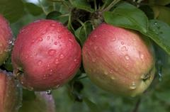 Dew covered Norland apples growing on tree. (Malus domestica) Lake Superior, ON, Stock Photos