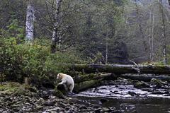 Kermode bear in the Great Bear Rainforest of British Columbia Canada Stock Photos