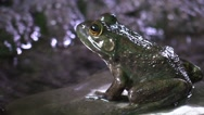 Frog closeup sitting on rock by river bank Stock Footage