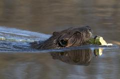 Beaver swimming in pond with an aspen tree branch. (Castor canadensis). Northern Kuvituskuvat