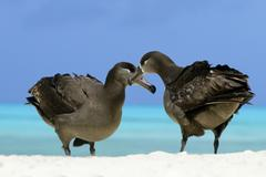 Adult black-footed albatrosses (Diomedea nigripes) courting, Midway Atoll, Stock Photos
