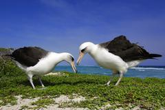 Laysan albatrosses (Diomedea immutabilis) courting, Midway Atoll, Hawaii Stock Photos