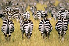 Adult plains zebras (Equus burchelli) in their annual migration on the Serengeti Stock Photos