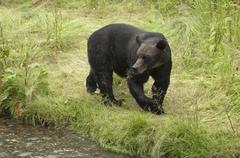 Grizzly bear (Ursus arctos horribilus) beside salmon spawning stream, Alaska, Kuvituskuvat