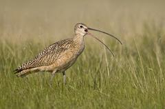 Long-billed Curlew (Numenius americanus) in native grasslands south of Brooks, Stock Photos