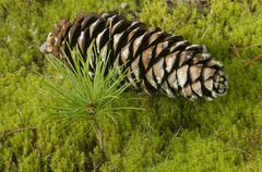 Seedling and cone of white pine witnessing the renewal, rebirth, new beggining, Stock Photos