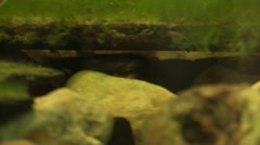Minnow fight under river rock Stock Footage