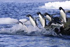 Adelie penguins (Pygoscelis adeliae) leaving on a foraging trip from their Stock Photos