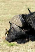 African buffalo (Syncerus caffer) bull with yellow-billed oxpecker (Buphagus Stock Photos