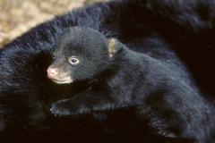 American black bear cub (Ursus americanus), resting on its mother's back, Stock Photos