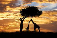 Adult and juvenile giraffes (Giraffa camelopardalis), Masai Mara Reserve, Kenya, Stock Photos