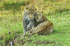 Mother leopard (Panthera pardus) and yealing cub, Masai Mara Reserve, Kenya, Kuvituskuvat