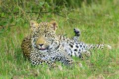 Yearling leopard (Panthera pardus) cub, Masai Mara Reserve, Kenya, East Africa Kuvituskuvat