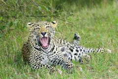 Yearling leopard (Panthera pardus) cub yawning, Masai Mara Reserve, Kenya, East Stock Photos