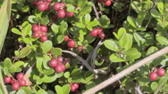 Rich harvest of cowberry Stock Footage