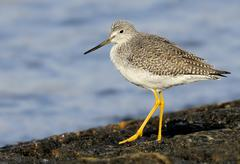 Greater Yellowlegs (Tringa melanoleuca) perched on rocky shore at Queens Park, Stock Photos