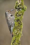 Northern Flicker (Colaptes auratus) drilling for food Victoria, British Stock Photos