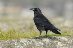 Northwestern Crow (Corvus caurinus) at Cattle Point, Oak Bay, British Columbia, Stock Photos