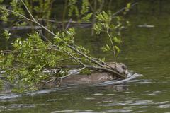 Beaver (Castor canadensis), swims with branches in its mouth, Saskatchewan, Kuvituskuvat